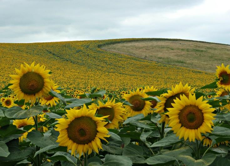 Sunflowers, Écluse de Sanglier, Midi Canal, France
