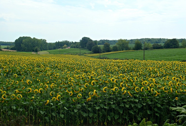 Sunflowers blooming near Luppé-Violles Chemin de Saint-Jacques, France